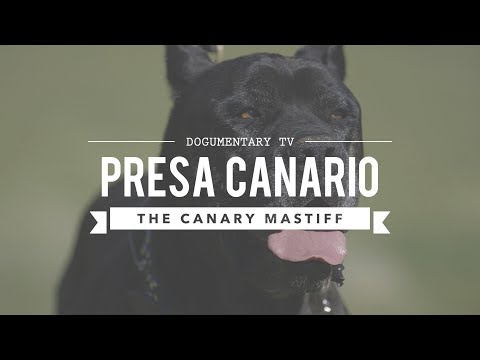 PRESA CANARIO: MAN'S BEST FRIEND