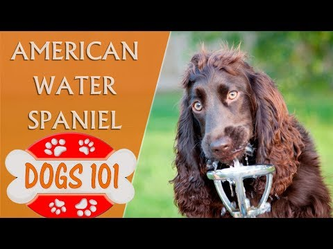 Dogs 101 - AMERICAN WATER SPANIEL - Top Dog Facts About the American Water Spaniel