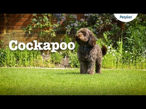 Cockapoo Puppies and Dogs: Temperament, Lifespan & more | Petplan