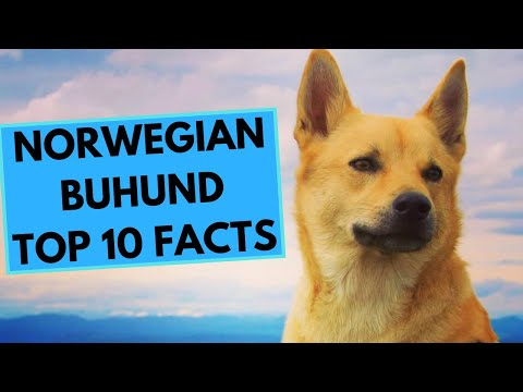 Norwegian Buhund - TOP 10 Interesting Facts