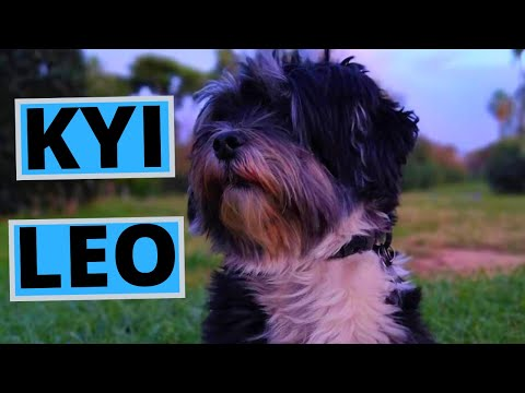 Kyi Leo Dog Breed - Facts and Information