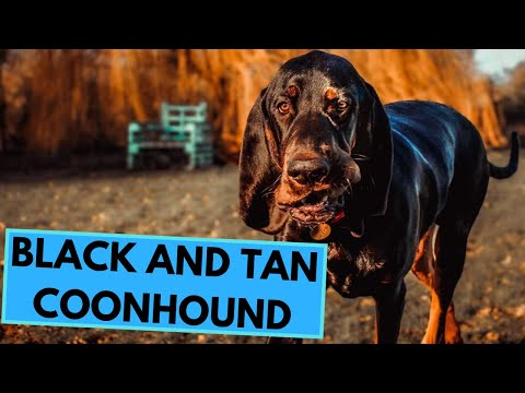 Black and Tan Coonhound - TOP 10 Interesting Facts
