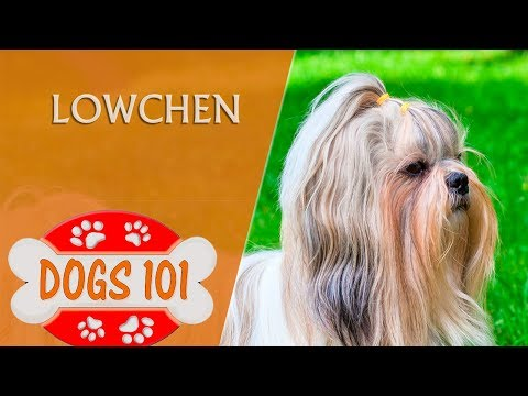 Dogs 101 - LOWCHEN - Top Dog Facts About the LOWCHEN