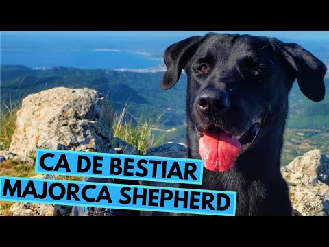 Ca de Bestiar - Majorca Shepherd - Facts and Information