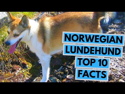Norwegian Lundehund - TOP 10 Interesting Facts