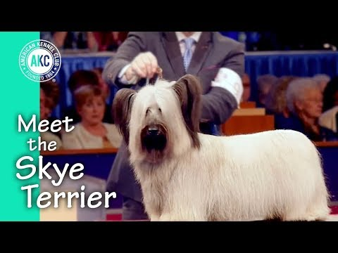 Meet the Skye Terrier