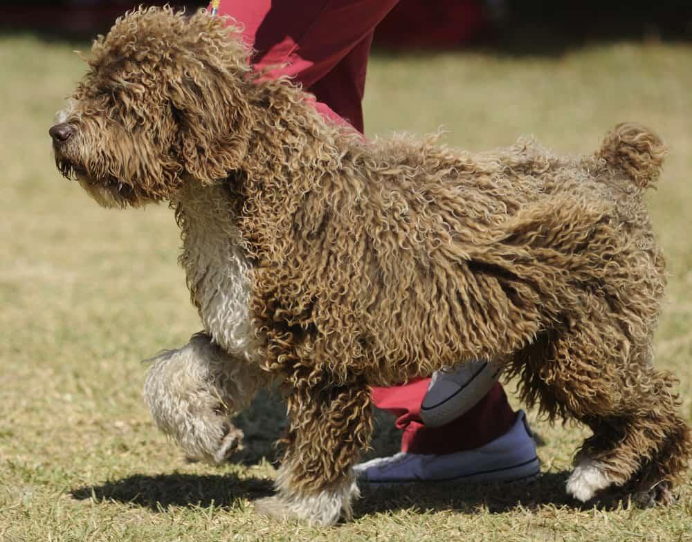 Spanischer Wasserhund erspäht etwas