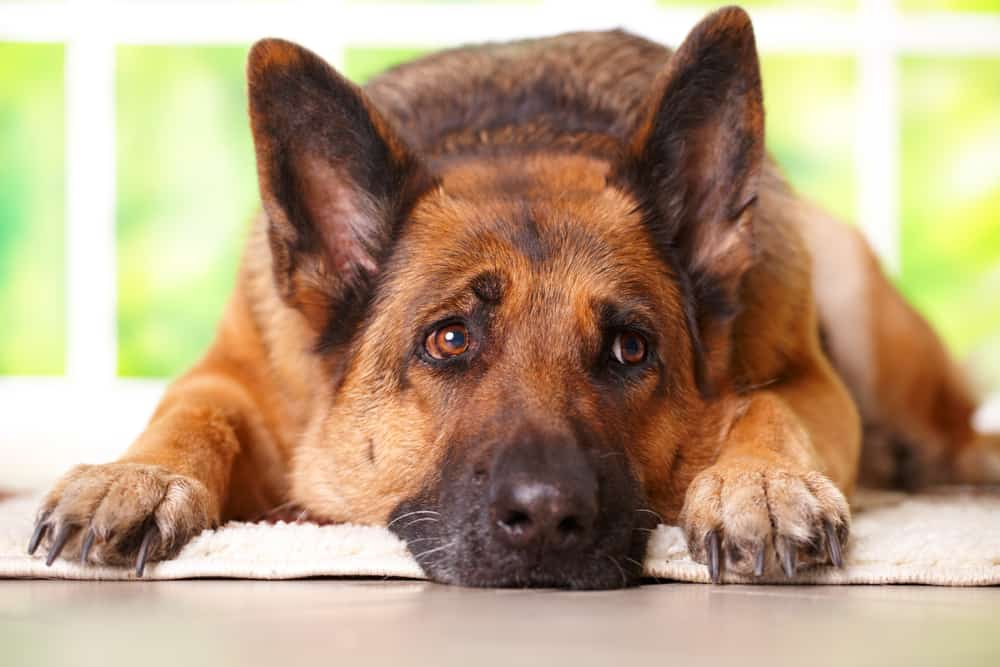 Hakenwürmer beim Hund