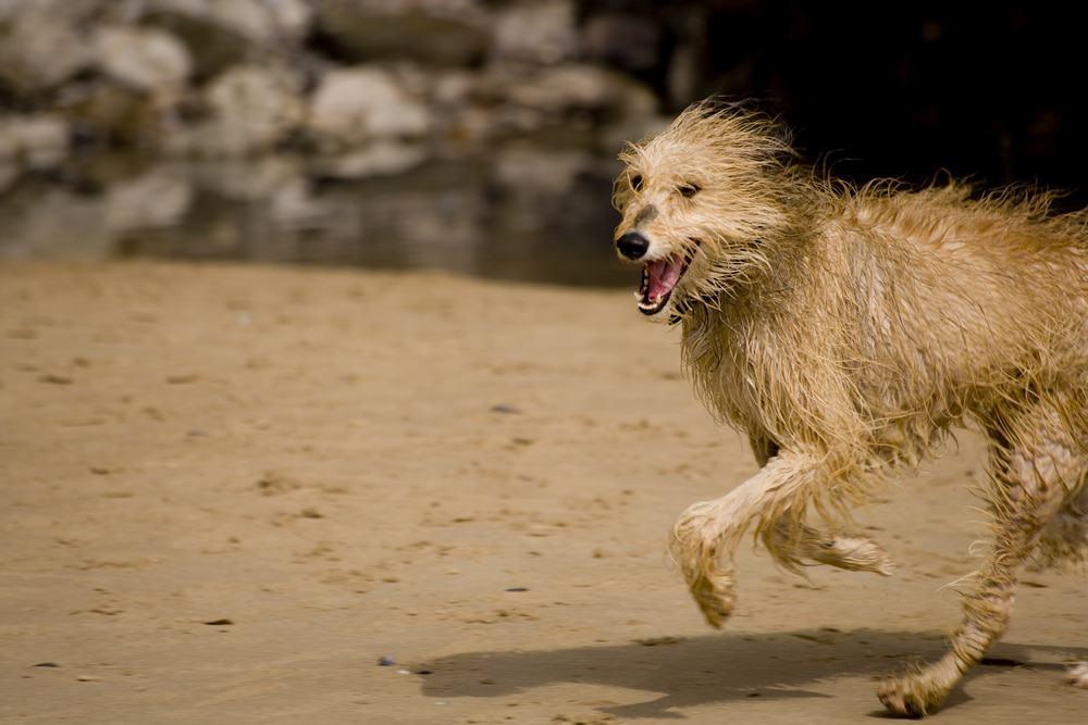 nasser Lurcher rennt