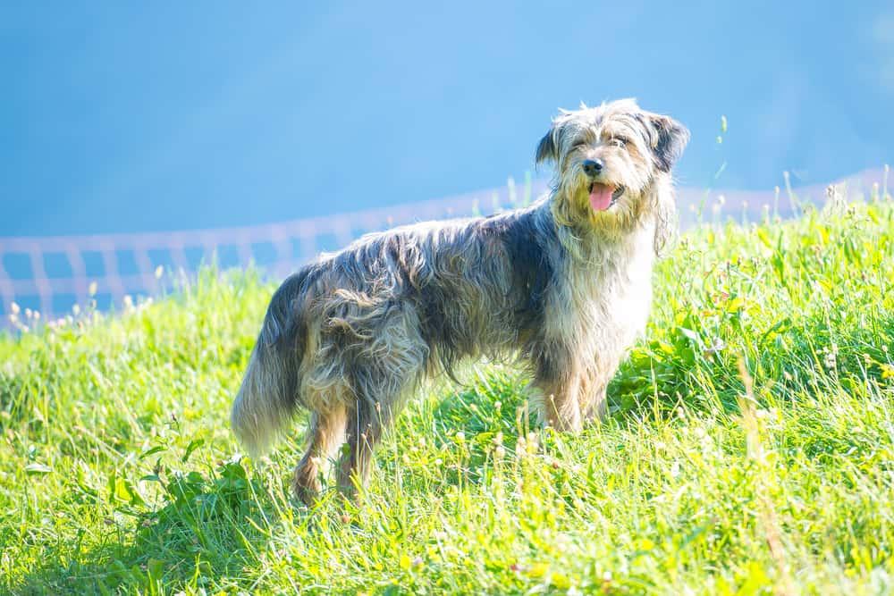 geschorener Bergamasker Hirtenhund