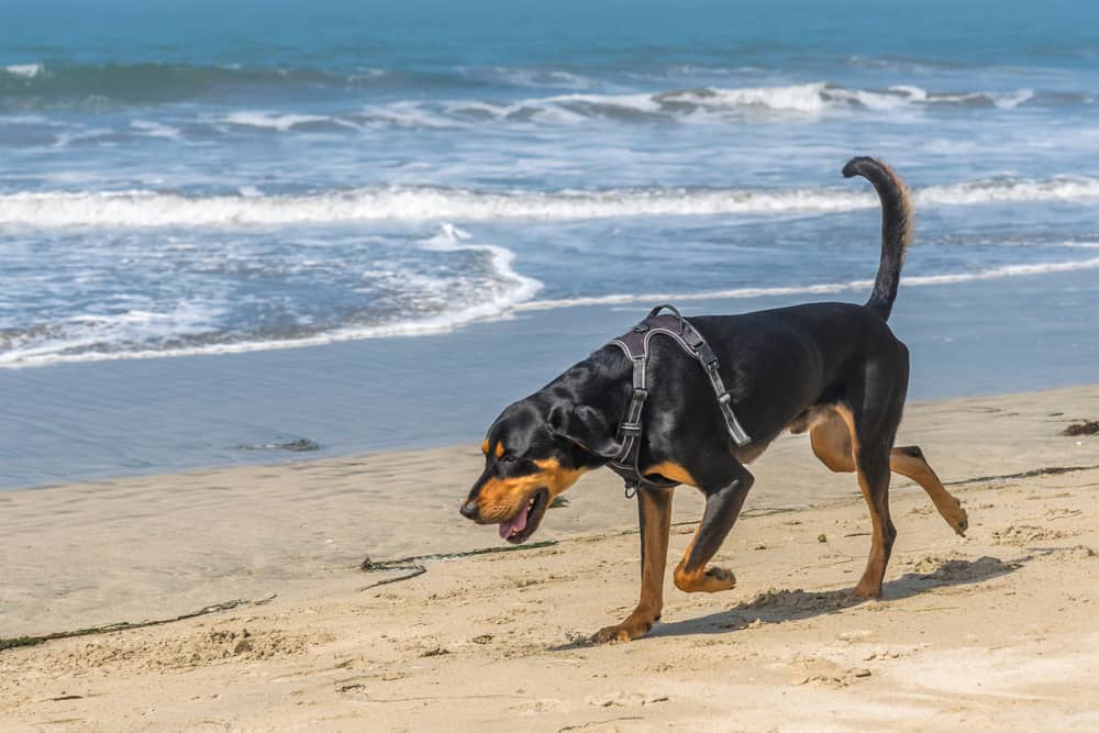 Black and Tan Coonhound am Strand