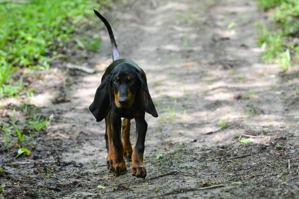 Black and Tan Coonhound im Wald
