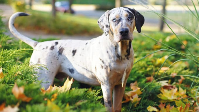 Louisiana Catahoula Leopard Dog steht im Gras