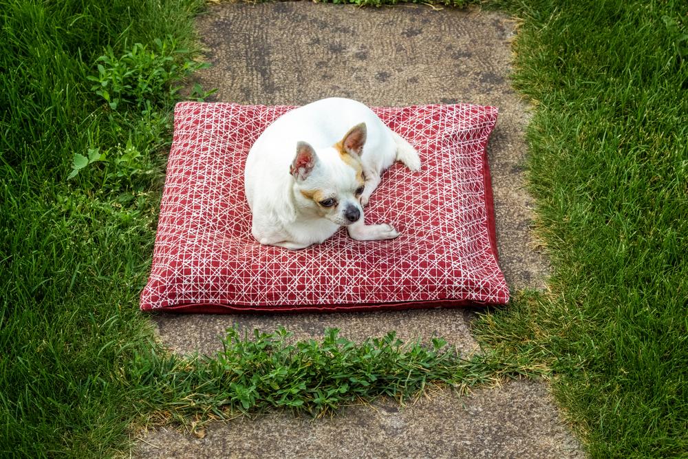 Chihuahua liegt auf seiner Decke im Garten