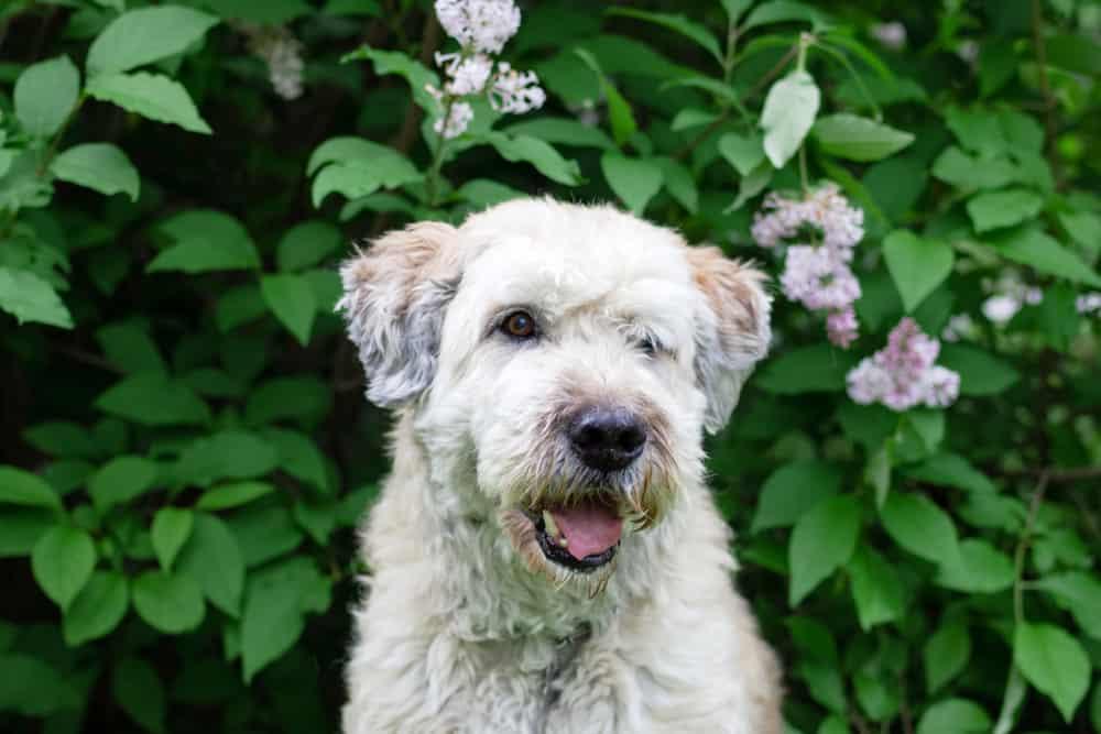 Südrussischer Owtscharka - Südrussischer Schäferhund vor einem Busch