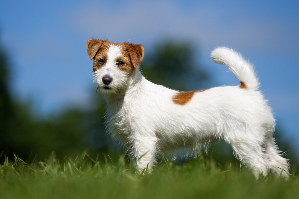 Jack Russell Terrier mit hoher Rute