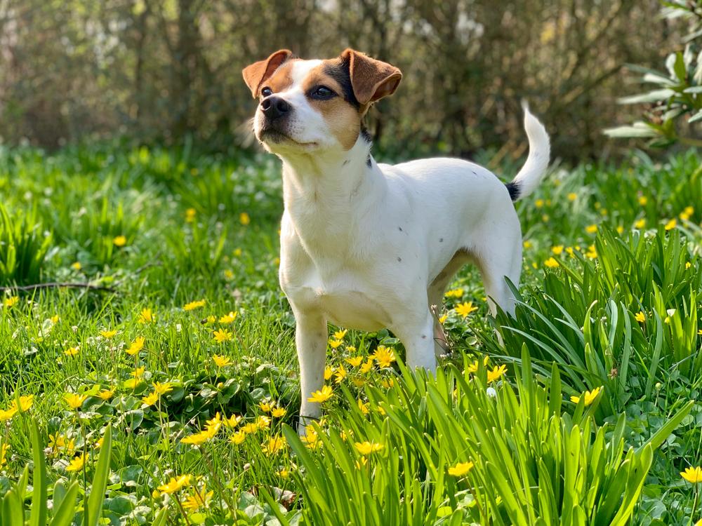 junger Dänischer Hofhund steht im Gras